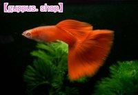国産 極赤 フルレッド RREA 熱帯魚 グッピー 赤さ1番系統 2ペア
