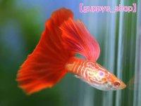 国産 RREA 極赤 レッドテールコブラ 熱帯魚 グッピー (スワロー系) 1ペア 1か月予約待ち