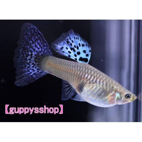 他の写真1: 国産 ブルーグラス パープル系 グッピー 熱帯魚 (スワロー系統) 1ペア