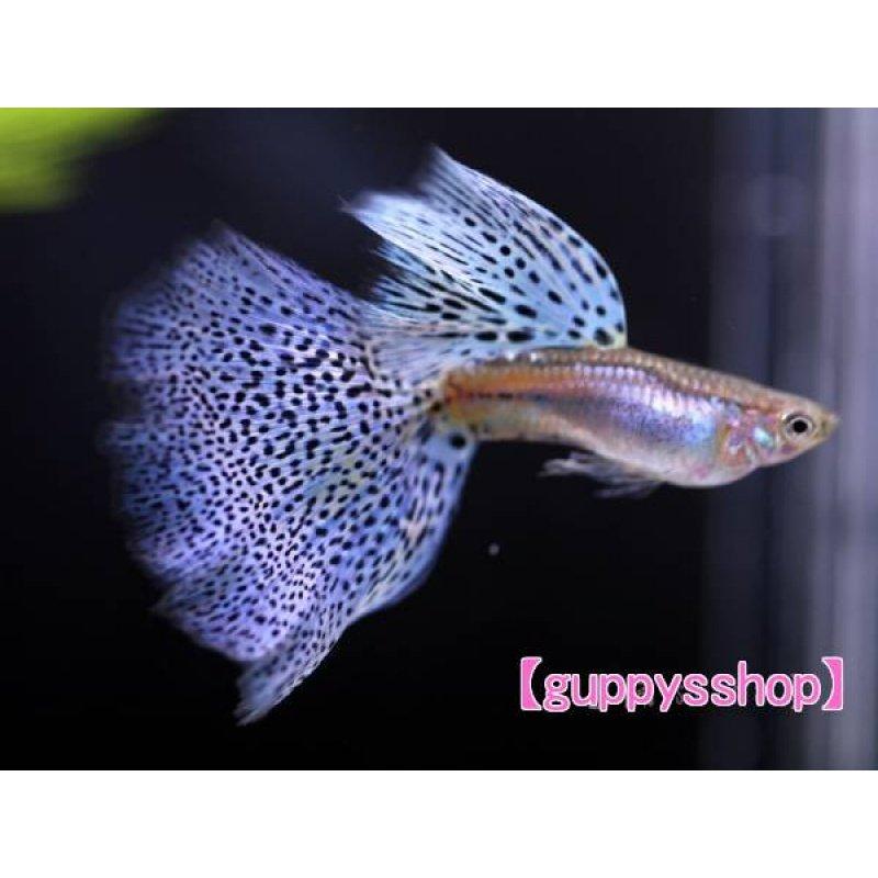 画像1: 国産 ブルーグラス パープル系 グッピー 熱帯魚 (スワロー系統) 1ペア