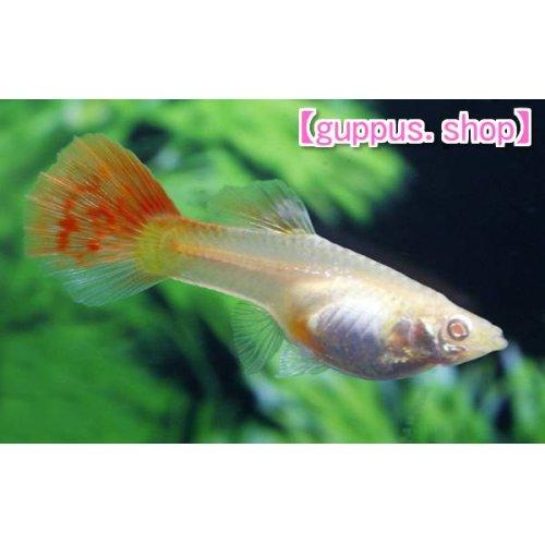 他の写真1: 国産 極赤 フルレッド RREA 熱帯魚 グッピー 赤さ1番系統 2ペア