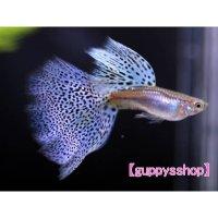 国産 ブルーグラス パープル系 グッピー 熱帯魚 (スワロー系統) 1ペア