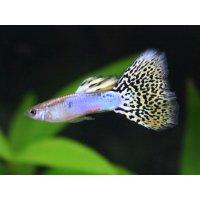 国産 イエローグラス グッピー 熱帯魚 1ペア