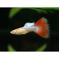 国産 RREA アクアマリンレッドテール 熱帯魚(パンジー)1ペア