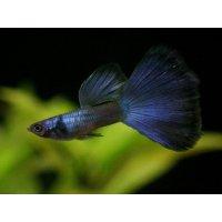 国産 モスコーブルー グッピー 熱帯魚 3ペア