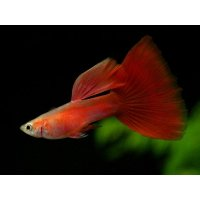 国産 ゴールデンフルレッド グッピー 熱帯魚 3ペア