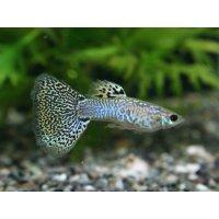 国産 キングコブラ グッピー 熱帯魚 2ペア