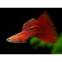 国産 ゴールデンフルレッド グッピー 熱帯魚 1ペア