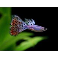 国産 ラズリーレッドグラス グッピー 熱帯魚 1ペア
