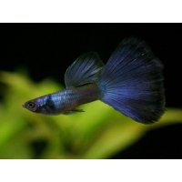 国産 モスコーブルー グッピー 熱帯魚 1ペア