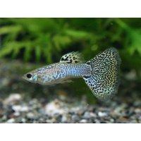国産 キングコブラ グッピー 熱帯魚 3ペア