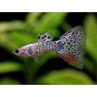 国産 ギャラクシーグラス グッピー 熱帯魚 2ペア