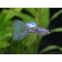 国産 ブルーグラス グッピー 熱帯魚 1ペア