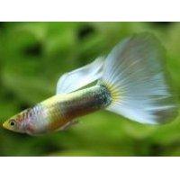 国産 ゴールデンプラチナドイツイエロー グッピー 熱帯魚 1ペア