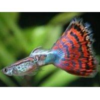 国産 オールドファッションモザイク グッピー 熱帯魚 1ペア