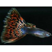 国産 プラチナモザイク グッピー 熱帯魚 1ペア