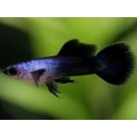 国産 モスコーパンダ グッピー 熱帯魚 1ペア