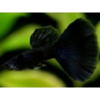 国産 フルブラック グッピー 熱帯魚 1ペア