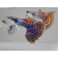 国産 プラチナモザイク ダンボ グッピー 熱帯魚 1ペア
